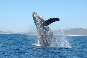 Humpback whale - Sally Mizroch - NOAA